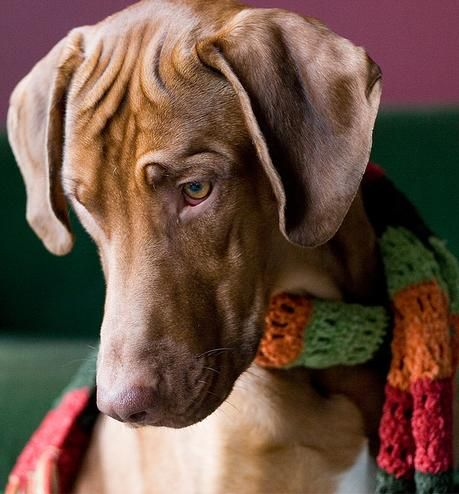 Vizsla something
