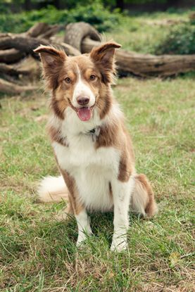 Welsh Sheepdog #Dogs