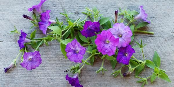 How To Grow Petunias From Seed In 2020 Grow Flower Seeds Petunia Plant Petunia Flower