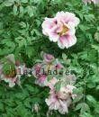 Paeonia x suffruticosa  Buskpion  Paeoniaceae  BUSKAR O TRÄD  Försommarblommande buske med mycket stora blommor i vitt-rosa, ofta med en mörk fläck på kronbladet. Långsamt växande och doftande.  Höjd:  2 m  Växtplats:  Djup, näringsrik, väldränerad jord som inte är för torr, gärna med lite inblandning av kalk. Sol till lätt skugga  Härdighet:  Troligen härdig i stora delar av landet om läget är skyddat.  Artens utbredningsområde:  Kulturursprung i Kina