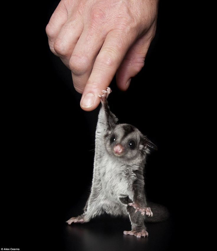 A tiny sugar glider reaches up to touch a human's hand.
