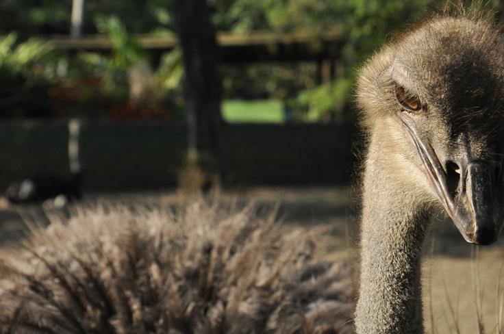 avestruz , zzo de cali