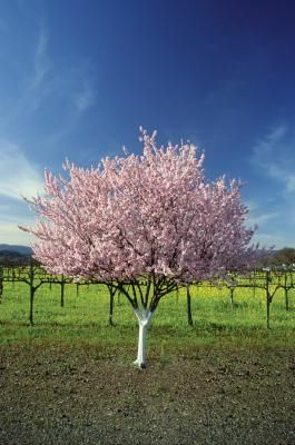 Dwarf fruit trees are a boon to the modern gardener. They take up much less space than standard trees and they're simpler to maintain, prune and harvest. In some instances, fruit quality ...