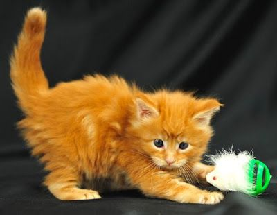Imagenes de gatos - gatitos: Imagen hermoso gatito anaranjado  [25-7-16]