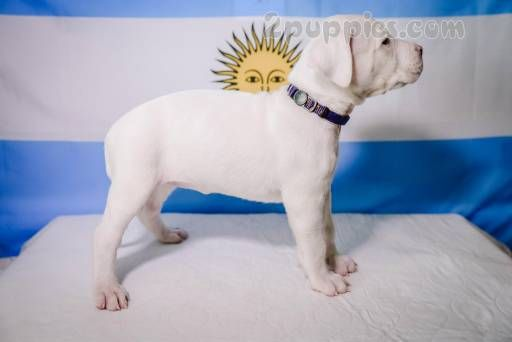 Find Your Dream Puppy Of The Right Dog Breed At Dogo Argentino