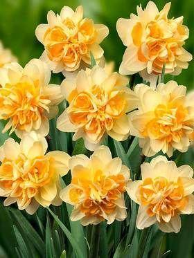 Daffodil Peach Cobbler. Pretty enough to eat?!!