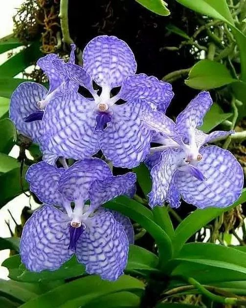 Vanda Orchid - Hawaii Photo