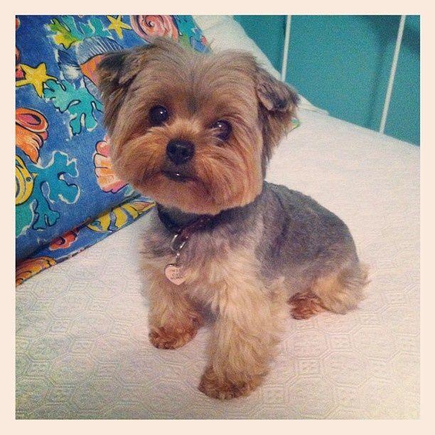 Teddy Bear Yorkie Haircut