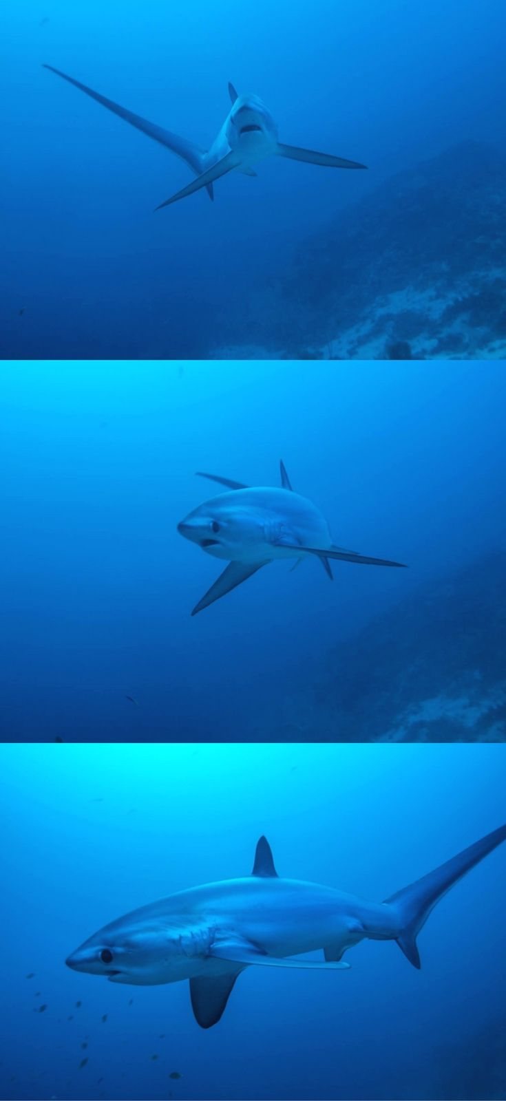 Scuba diving with thresher sharks in Malapascua in the Philippines - Playing hide and see with the thresher shark in Malapascua, Philippines – Scuba Diving - World Adventure Divers – Read more on  http://www.deepbluediving.org/differences-between-a-dive-and-a-snorkel-mask/