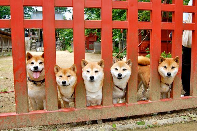 まよなか shiba inu! A herd of Akais!!