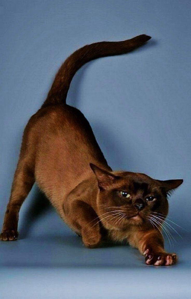 Sign In Beautiful Cats Burmese Cat Cat Breeds