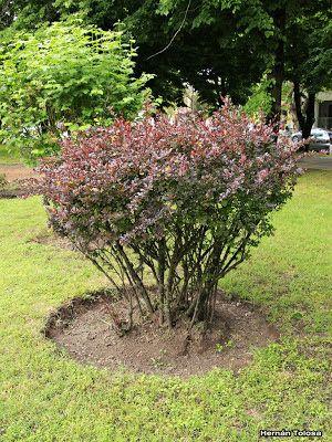 d-Flora Bonaerense: Berberis japonés (Berberis thunbergii)