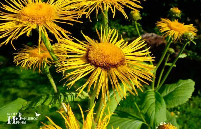 Девясил. Лечебные свойства и противопоказания. Фото растения. Корень девясила | Блог Ирины Зайцевой