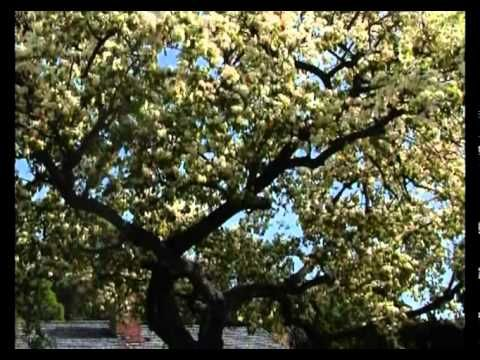 Сад и огород. Груши и сливы - YouTube