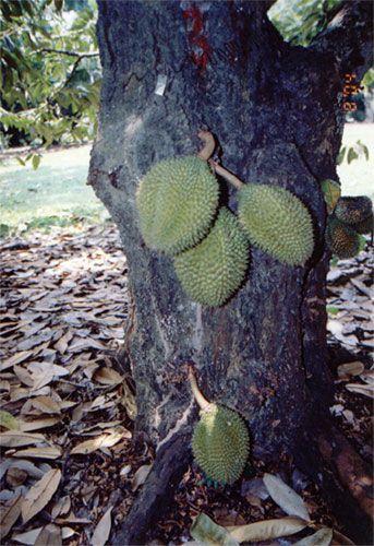 durian kurakura durio testudinarium grows fruits on