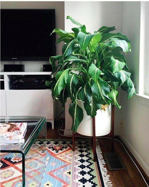 Wil je weten: 10 planten die geen zonlicht nodig hebben, zoals deze Dumb Cane (Dieffenbachia). Plant de tropische Dieffenbachia in normale potgrond en in een gemiddeld klimaat en dan kan hij in jouw urban jungle interieur wel  1,5 meter hoog worden.