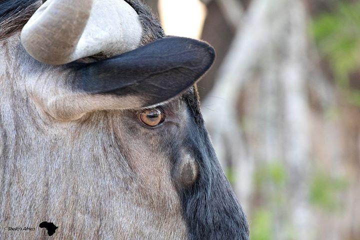 Wildebeest Kruger National Park