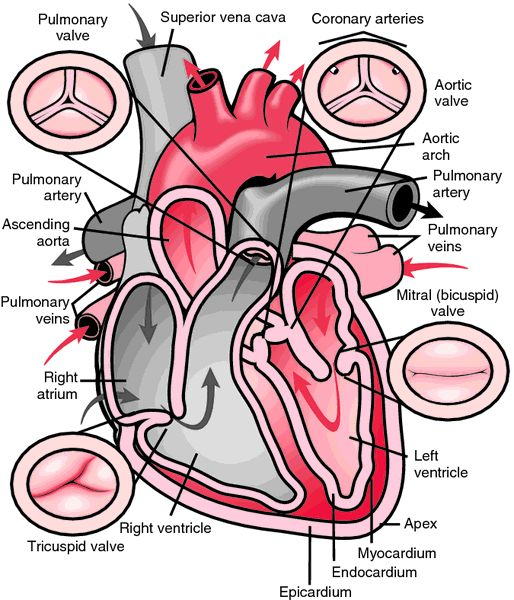 Aortic Stenosis In Children: 32 Best Bicuspid Aortic Valve Images On Pinterest
