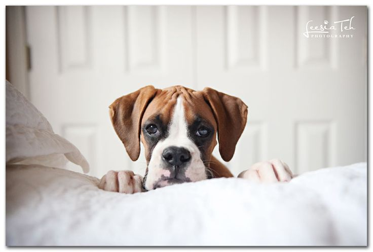 Boxers are too cute!