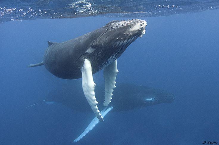 """Ruta de Gigantes""  homenaje a las ballenas jorobadas - http://bit.ly/1IjDATJ"