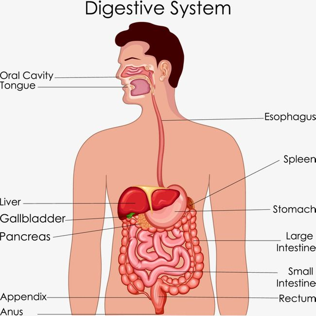 Digestive System Anatomy Vector Material Medical Care Hygiene Medical Science Png Transparent Clipart Image And Psd File For Free Download Digestive System Anatomy Digestive System Medical Science