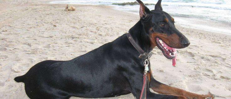 Van oorsprong komt de Dobermann uit Duitsland en tijdens de jaren 1860 werd de Dobermann gebruikt als een persoonlijke beschermer en waakhond, ongedierte bestrijder, schaapherder, en gun-hond.
