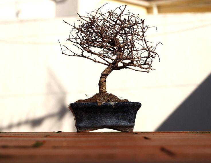 les 9 meilleures images du tableau entretien du bonsai sur pinterest arrosage entretien. Black Bedroom Furniture Sets. Home Design Ideas