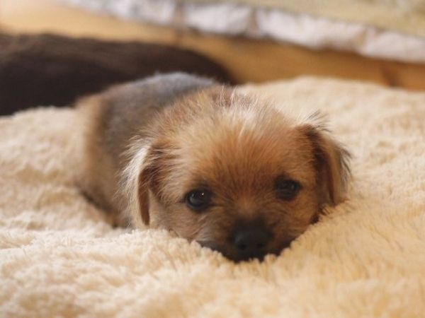 In case you are having a bad day... here is a Norfolk Terrier Puppy. :) by tsipouraki