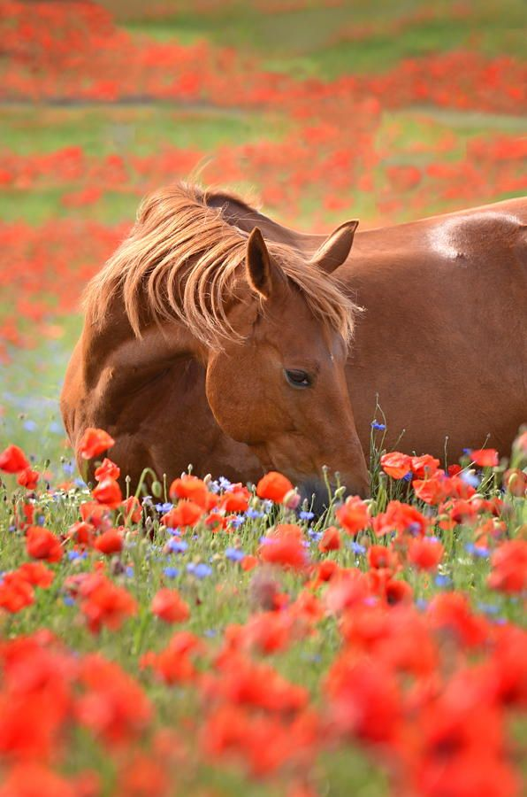 Chestnut Horse in a poppy field ~ by Katharina Hödel