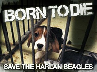 SAVE THE HARLAN BEAGLES  Harlan are the UK's last remaining breeders of beagles for use in experiments.Their Cambridgeshire site breeds beagles for sale to laboratories and universities whilst their Loughborough site keeps 'donor beagles' (these dogs have their blood regularly drained and sold to laboratories).    We are calling for the closure of both the Cambridge and Loughborough sites or, at the very least, an immediate public inquiry into Harlan's care and treatment of beagles.