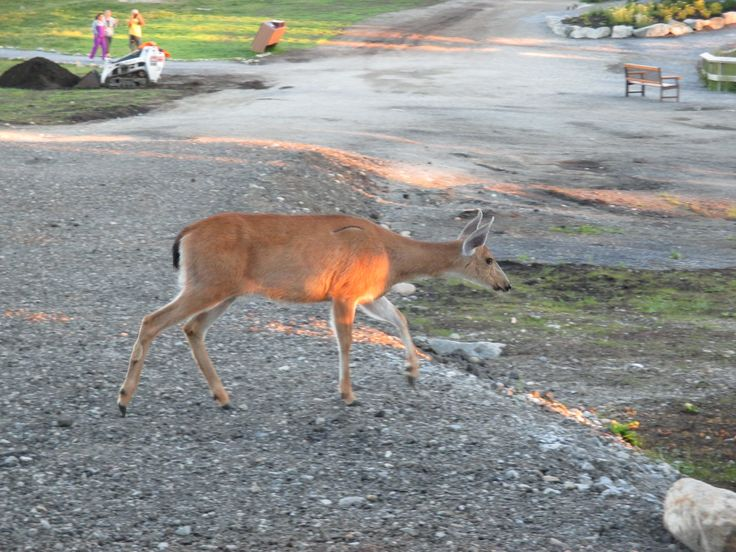 Deer, Alpine Trail, Grouse Mountain, North Vancouver, BC, Canada, Summer