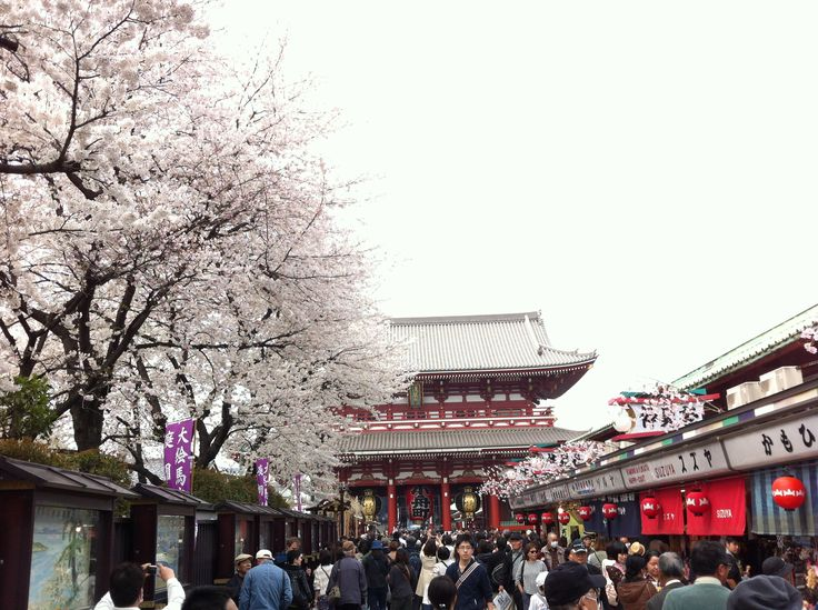 Sakura @ Asakusa Temple