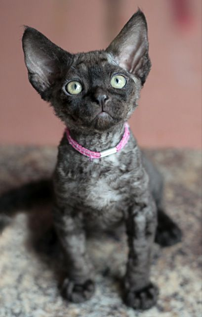 Pepper. Black smoke Devon Rex kitten. Owned by friends.