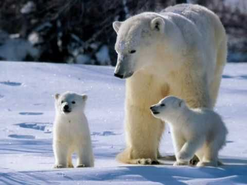 Animaux - Les Ours Polaire