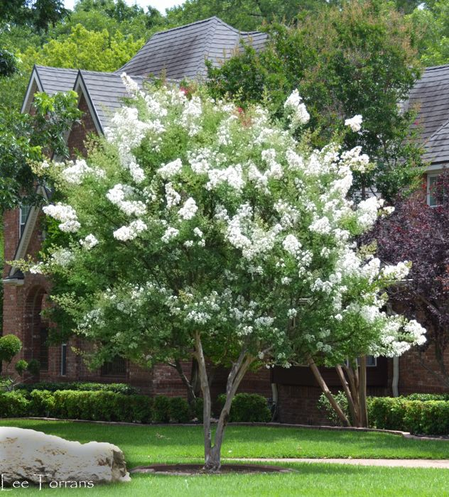 The Natchez White Crape Myrtle is a good example of a crepe myrtle that can be trained to one trunk.