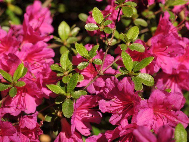 10 best azaleas images on pinterest dwarf azaleas flower beds and backyard ideas. Black Bedroom Furniture Sets. Home Design Ideas