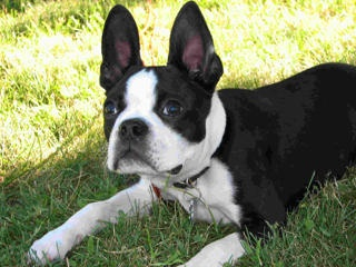 Clyde, the Boston Terrier