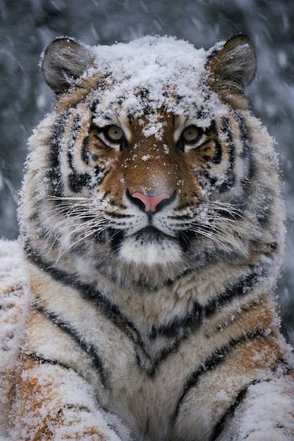 "Tiger:  ""No!  I'm NOT a White Tiger!  Just snow-covered!"""