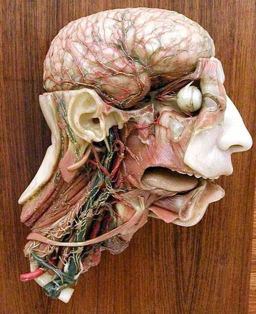 Wax Anatomical Model I think I can see v the vien that causes my migraines right there over the right eye.