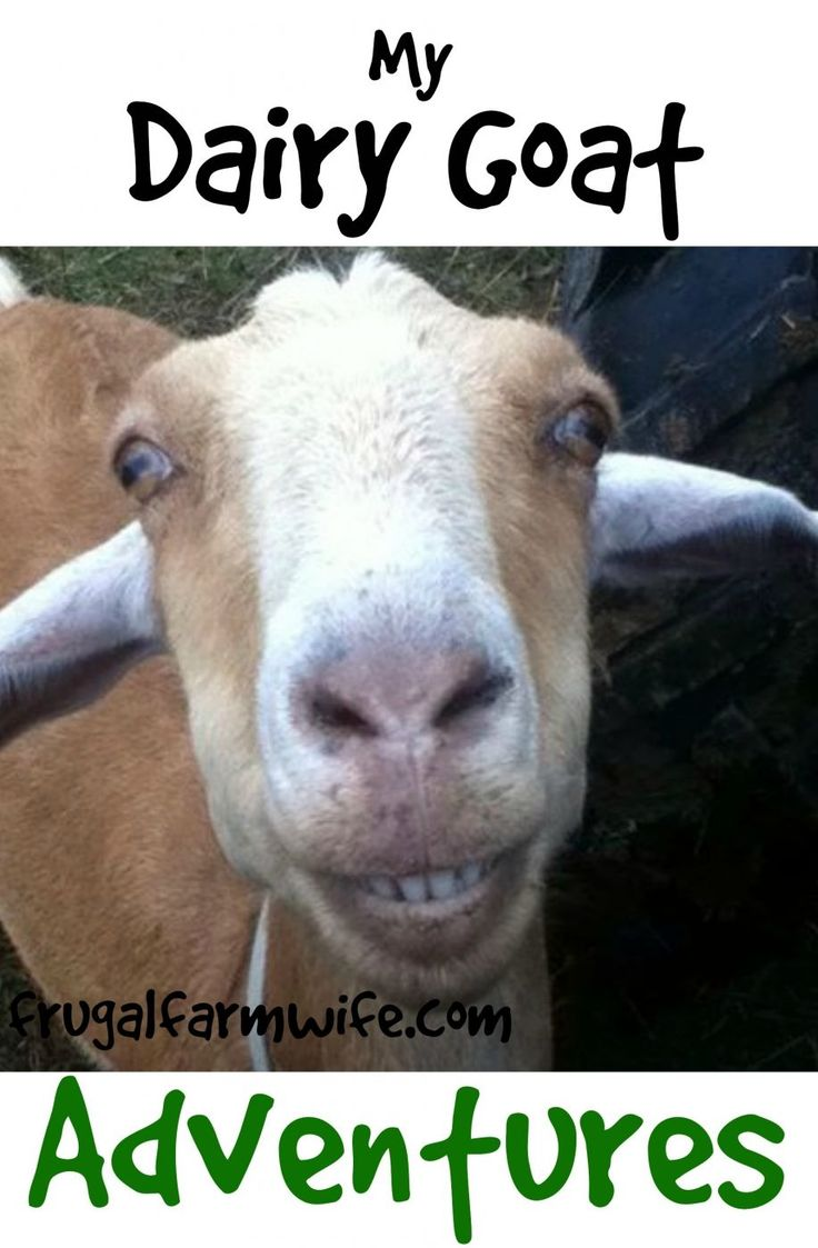 #goatvet likes this blog called My Dairy Goat Adventures
