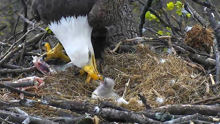 """""""American Eagle Foundation Bald Eagle Nest Cam""""  Follow up your Memorial Day by watching taking a look at a 24-hour a day live stream of the nest of two bald eagles at the U.S. National Arboretum. Your students will be fascinated by this rare, live footage!"""