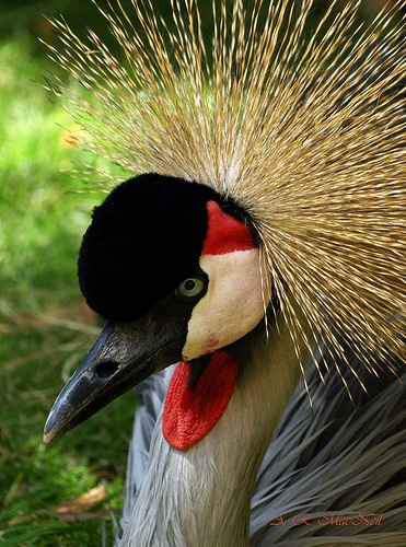 African Crane in the Shade - South Africa's National Bird.