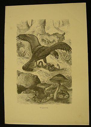 Kretschmer Robert - Vipera. s.d. (ma 1900 ca.). Storia natule - Etologia - Animali - Rettili - Serpenti - Stampa - Scienza -  -