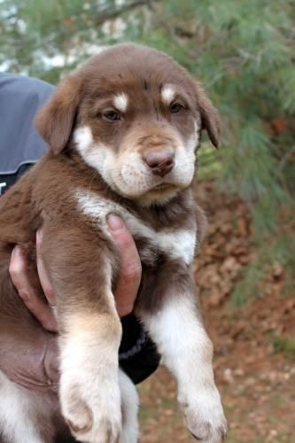 our aussie husky lab mix puppy baby, dakota!