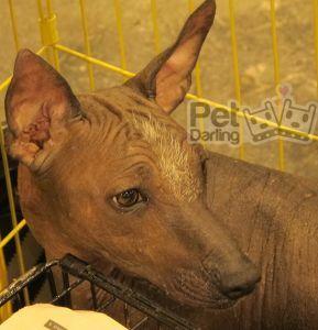 Raza perro xoloitzcuintle, azteca o calvo mexicano