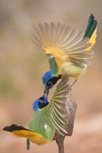 Green Jays, by Hector Astorga via Audubon Magazine