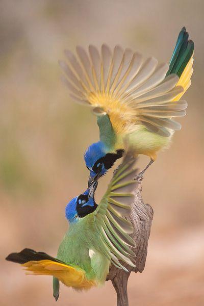 Green Jays: A Kiss, Greenjay, The Kiss, Pretty Birds, Beautiful Birds, Green Jay, Photo, Animal, Feathers Friends