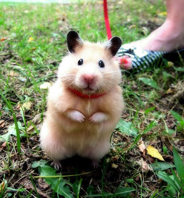 It's a hamster. ON A LEASH. Shut the helllll up! Too cute!