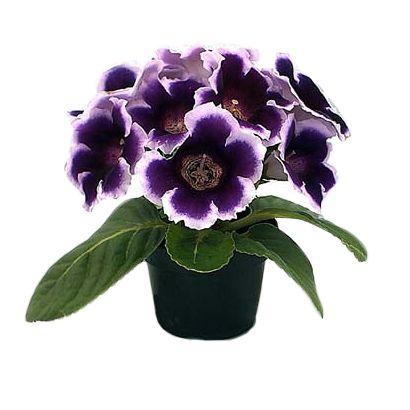 virágdísznövény | virágdísznövények - Fitoland.hu - Csuporka (Gloxinia sylvatica)