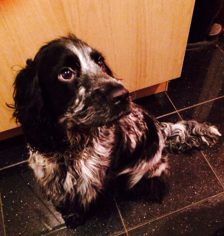 Pictures of English Cocker Spaniel Blue Roan - #rock-cafe